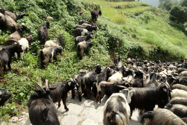 Muitos yacs pelo caminho
